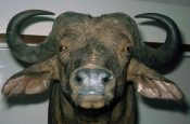 Cape Buffalo Head by Gary Tatterton 2003