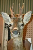 Roe Deer Head 2006