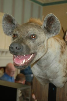 Hyena Head by Dave Hollingworth 2006