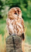 Tawny Owl by Dave Astley
