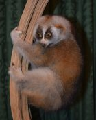 Slow Loris by Derek Frampton