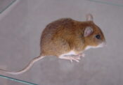 Yellow-necked Mouse by Emily Mayer 2000