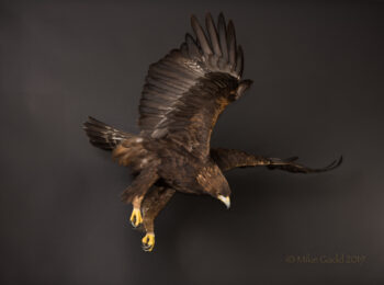 Golden Eagle by Mike Gadd 2015