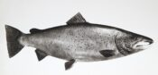 Model of Salmon by Ian Hutchison