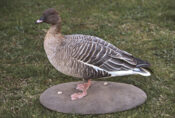 Pink-footed Goose by Ian Hutchison