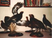 Grouse Competition 1986