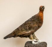 Grouse by Colin Scott 1980