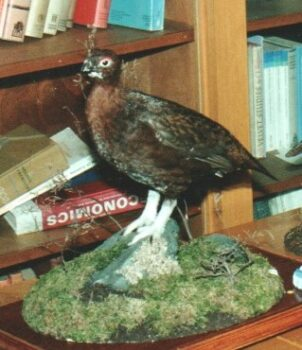 Red Grouse by Peter Scott 1990