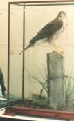Sparrowhawk by Dave Astley 1986