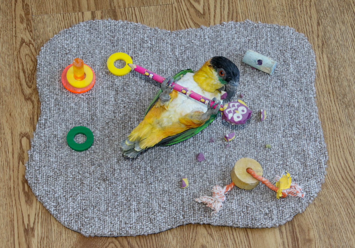 Black-headed Caique ('Playtime') by Colin Scott 2015
