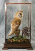 Barn Owl by Donal Mulcahy 2018