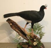 Second Bird Northern Helmeted Curassow by Colin Scott 2014