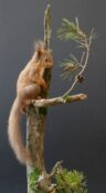 Red Squirrel by Colin Scott 2020
