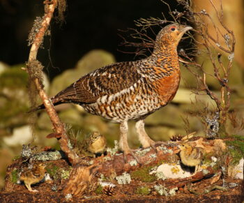 Capercaillie & Chicks by Colin Scott 2012