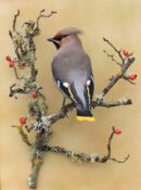 Waxwing by Colin Scott