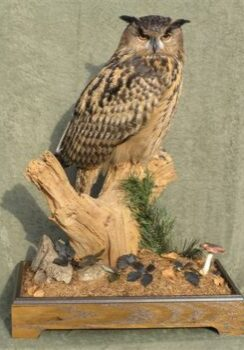 European Eagle Owl by Carl Church 2007